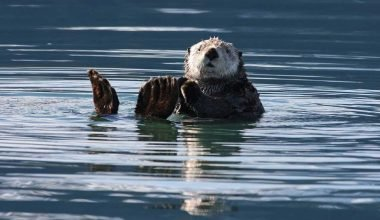 Sea otter as Keystone Species
