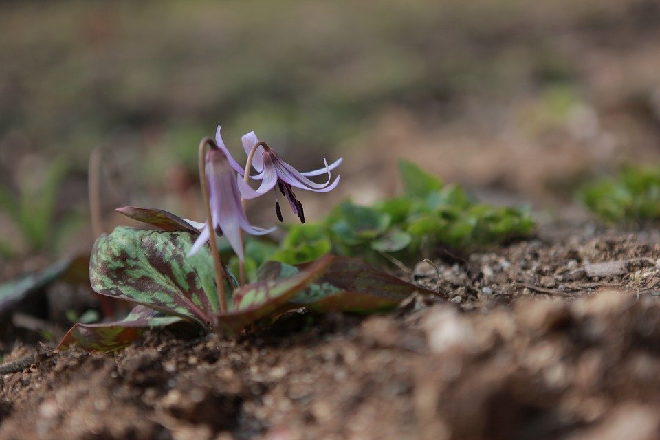Dwarf Trout Lily-Endangered Species