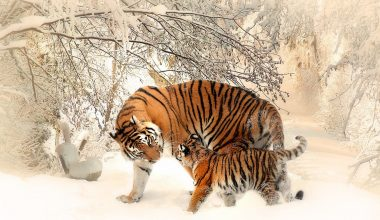tiger with its cub-biodiversity