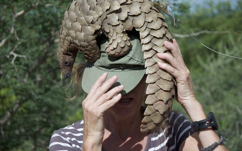 Pangolins;Why are they endangered