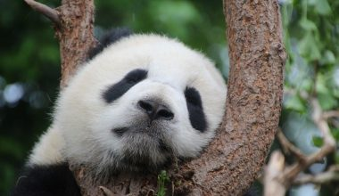 Why are pandas endangered?