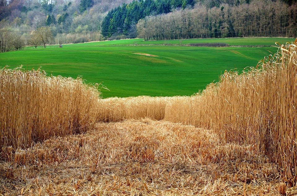 Biofuel Pros and Cons-Miscanthus