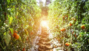 Tomato Farm-crop rotation