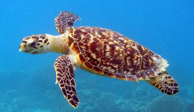15 Hawksbill Sea Turtle Facts