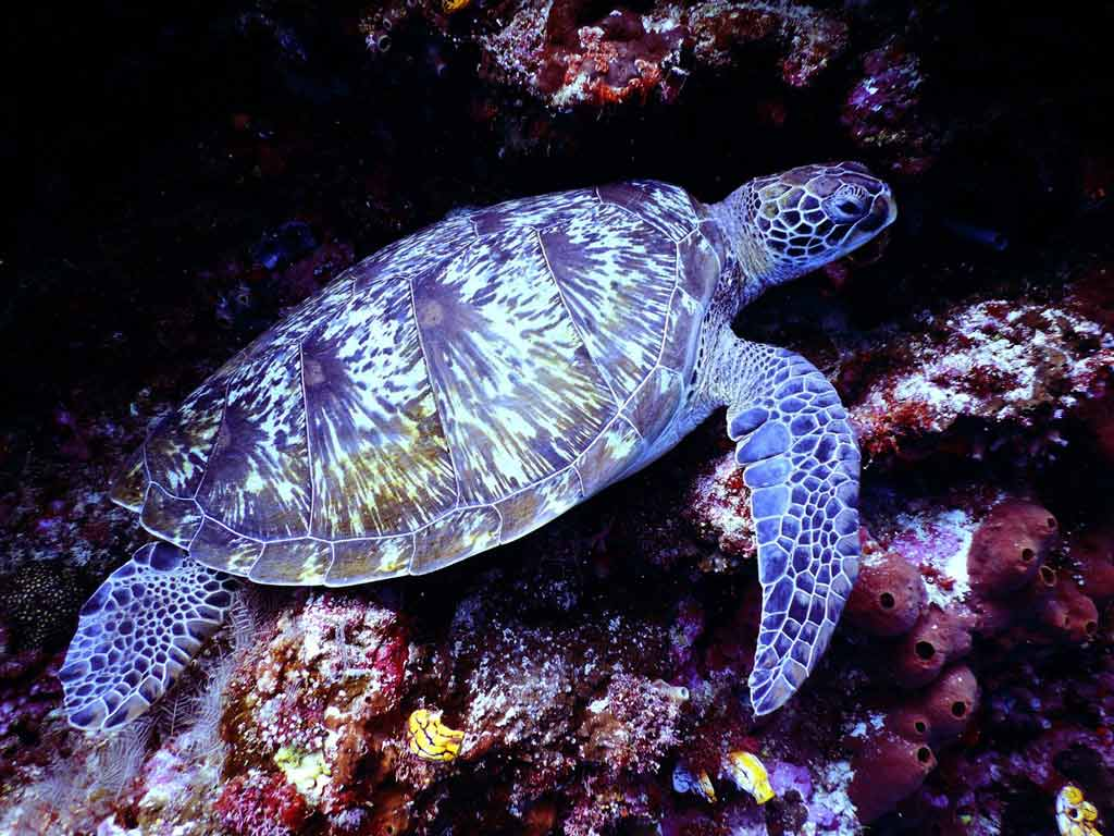Hawksbill sea turtle can glow in dark!