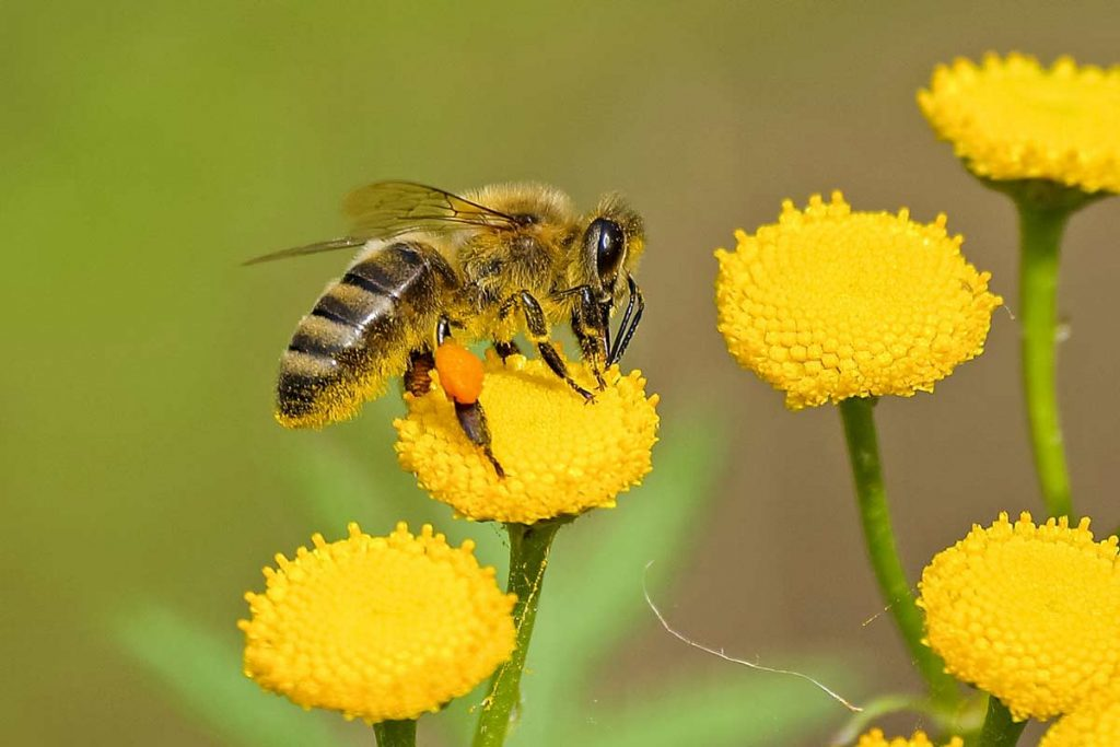 Summary of how honeybees pollinate flowers