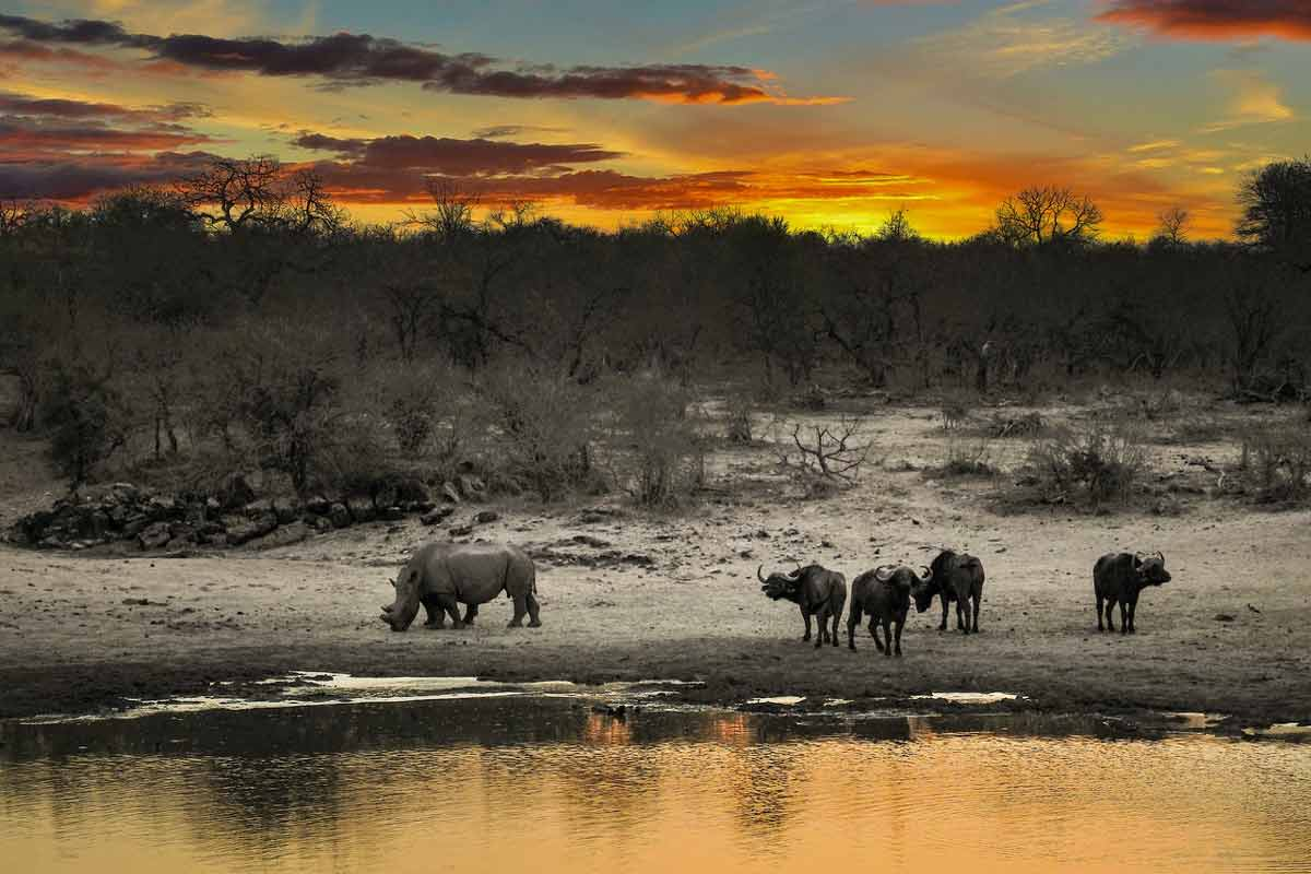 Droughts in South Africa because of Climate Change have reduced Rhino populations