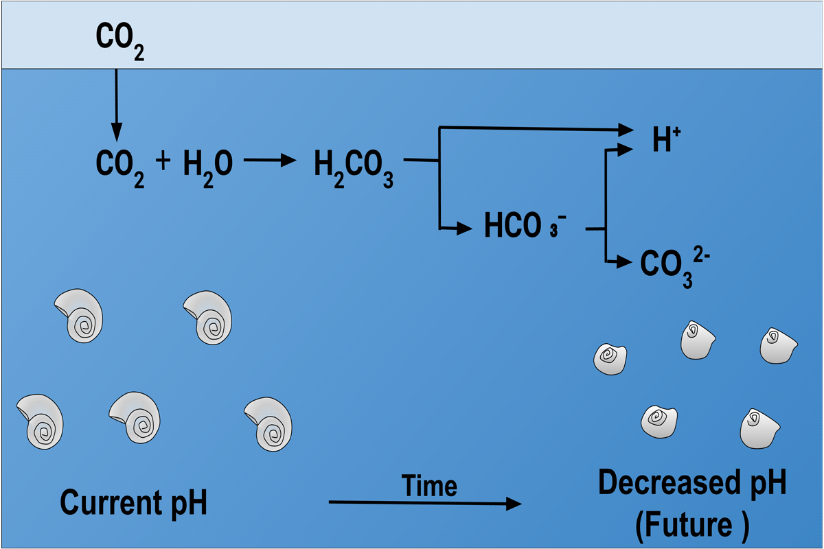 Effects of Ocean Acidification on Calcification of Sea Shells