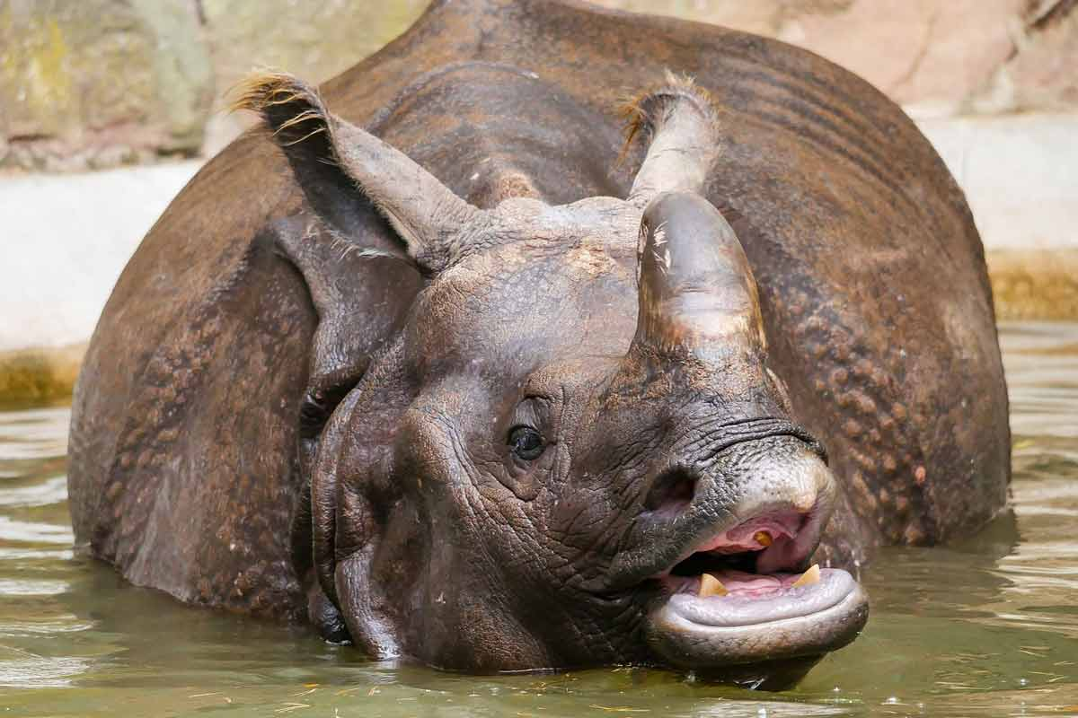 Rhinos love to play in mud.