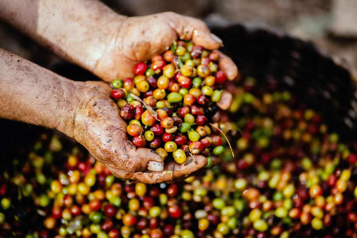 Climate Change will Affect Coffee Quality