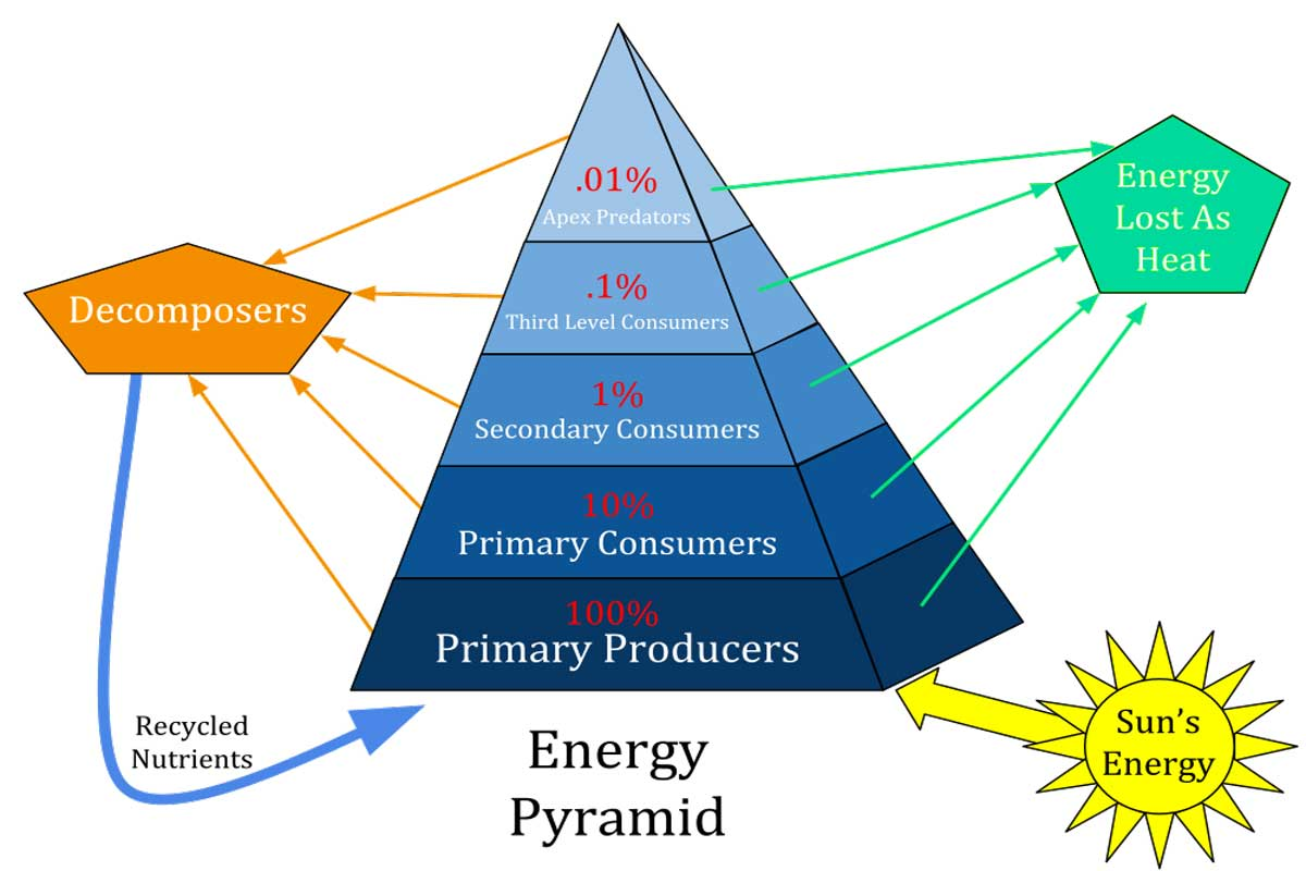 How does energy flow through an ecosystem? Ecological Pyramid