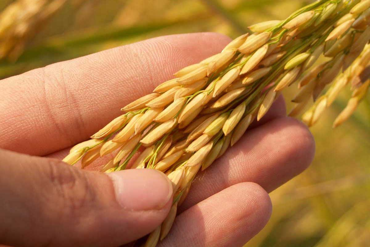 Learn about the history of rice