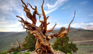 Oldest Tree of the World - Methuselah