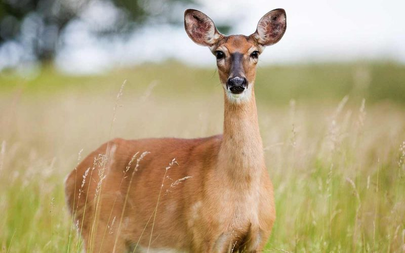 Habitat definition and deer example