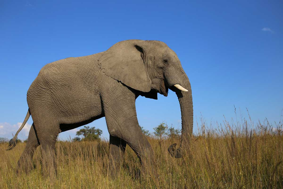 African Elephant Wild Animals in Forest