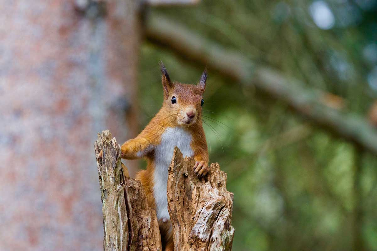 Red Squirrel is found in forests