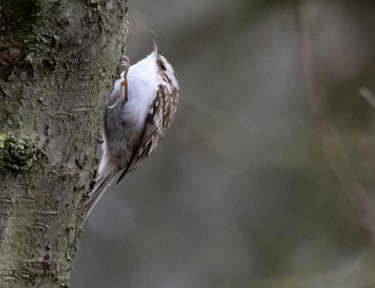 Tree Creeper in Forests