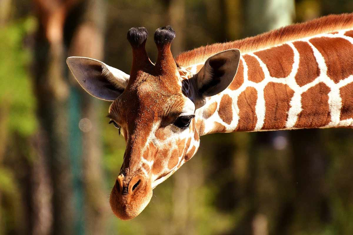 What can you do to support giraffes?