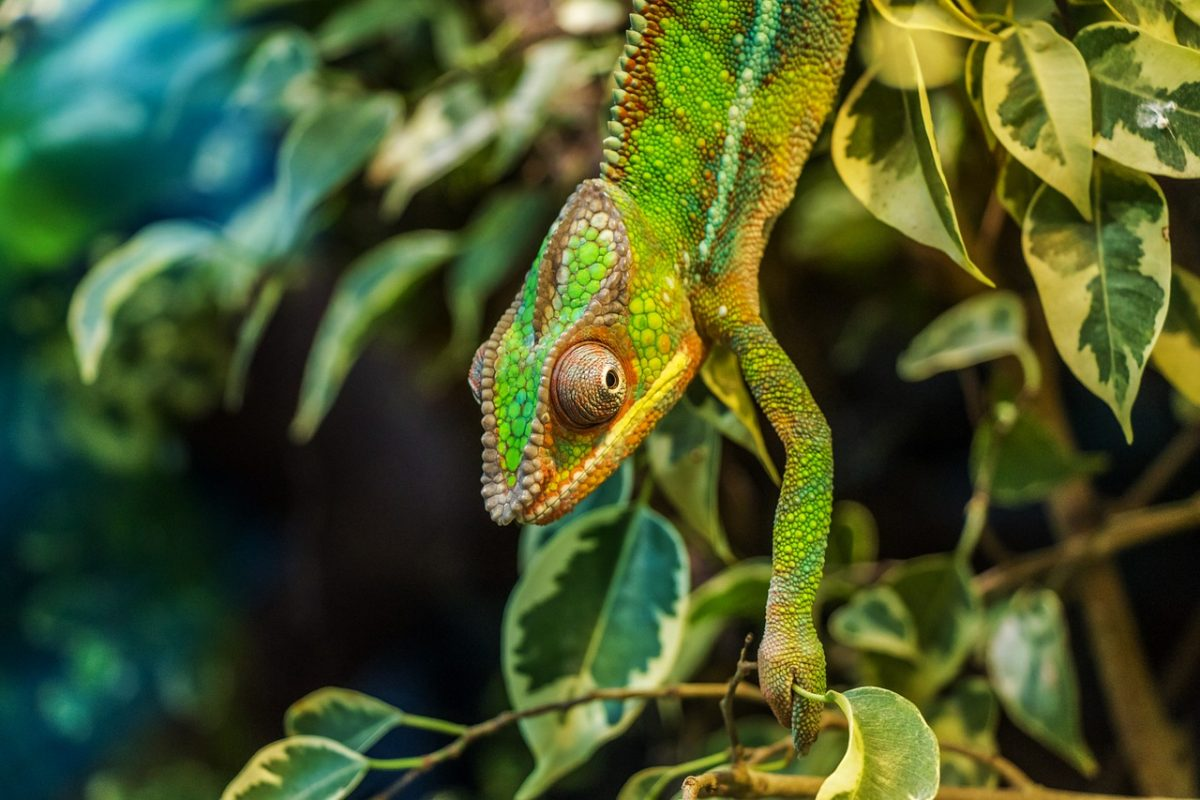 Chameleon is an examples Tropical Rainforest Reptiles
