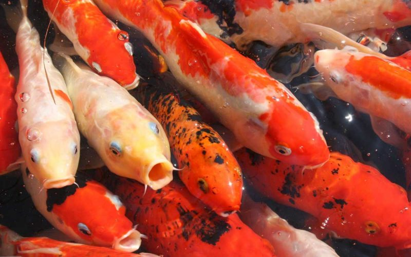 Koi-Fish-oldest-living-animals we know of